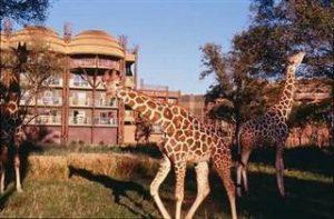 Giraffes at DVC's Animal Kingdom Resort