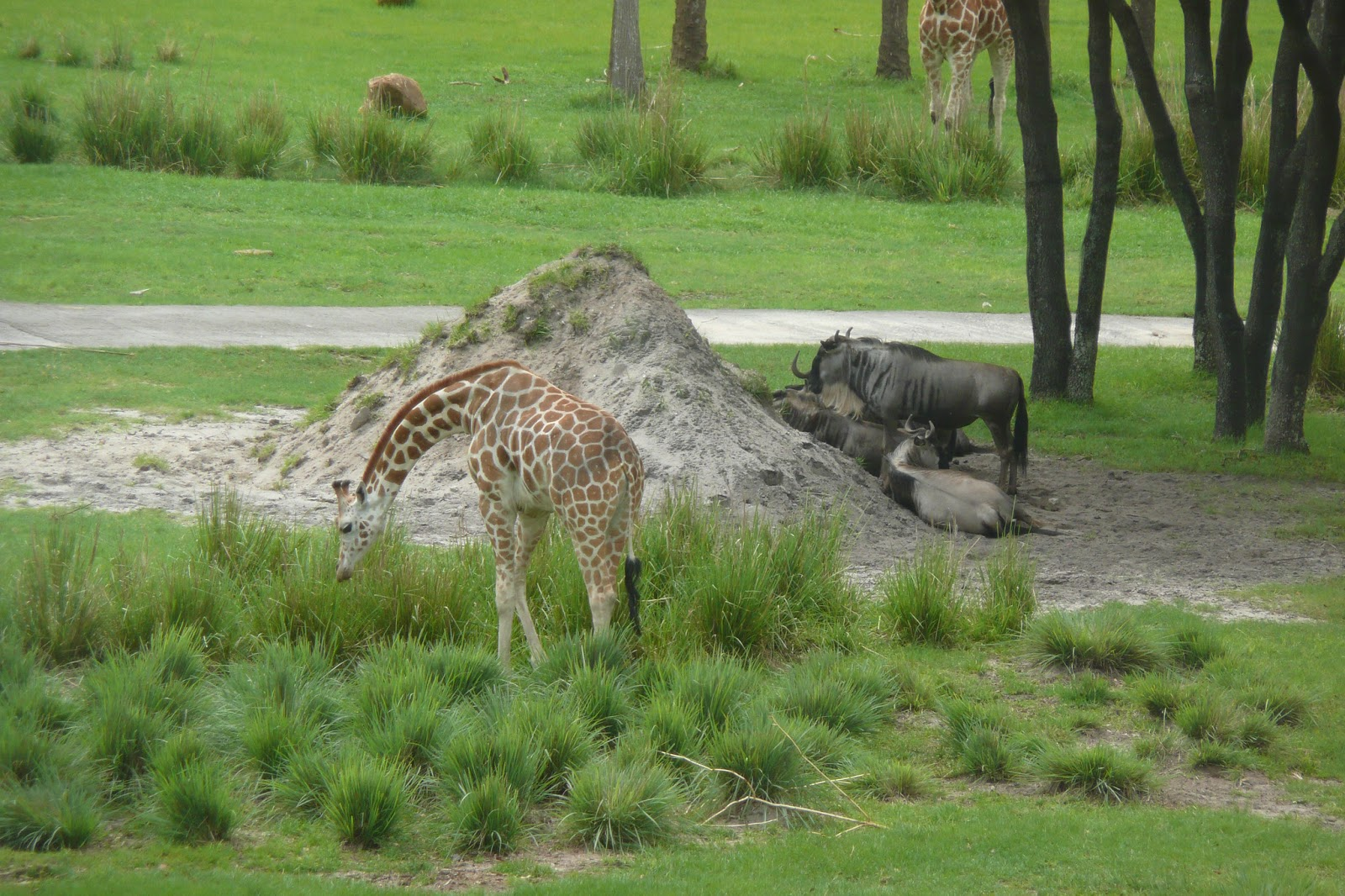 View from our window: Giraffe, Wildebeasts