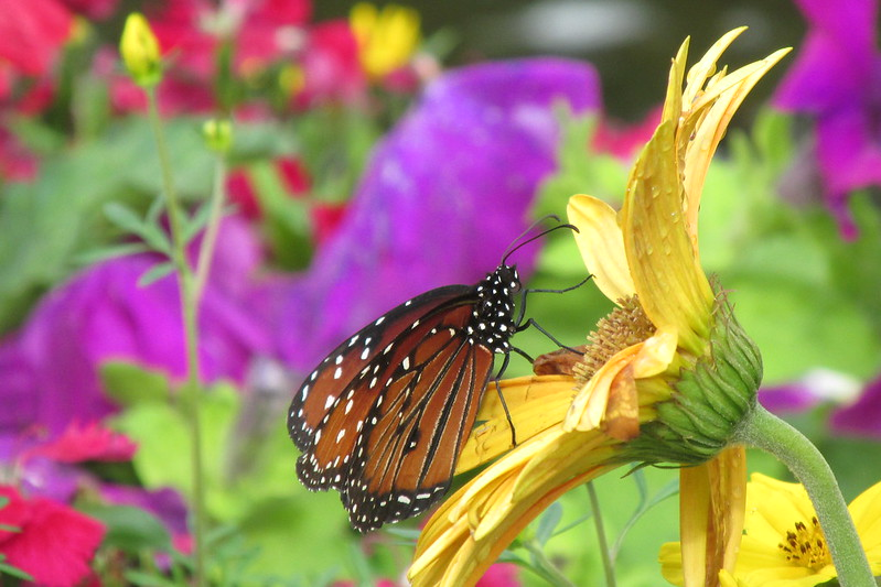 butterfly garden at epcot flower and garden festival