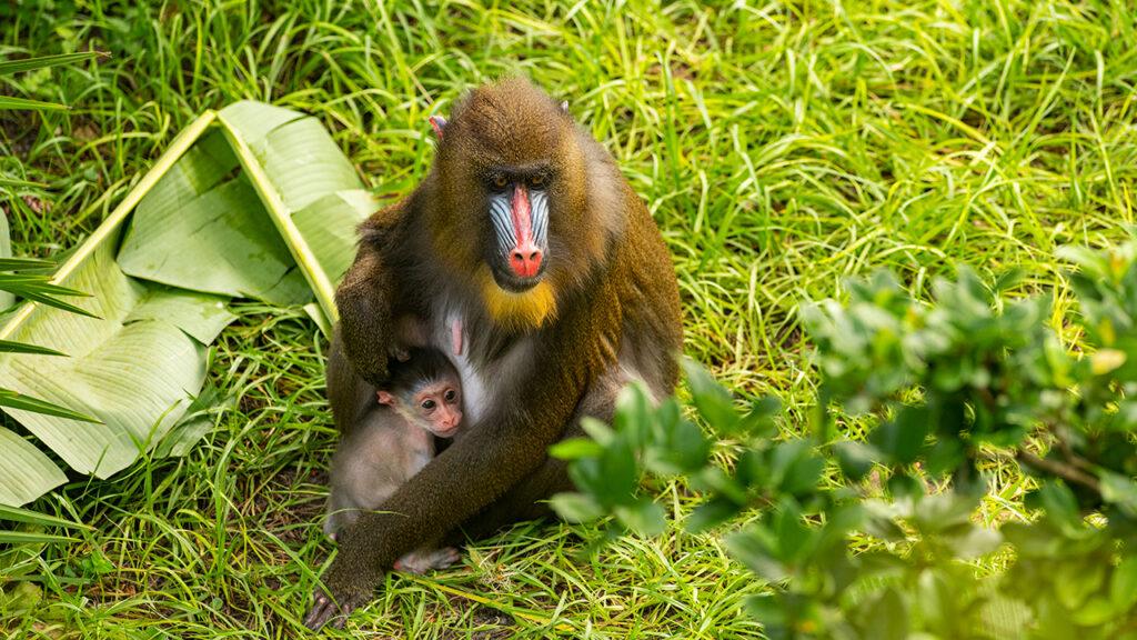 Baby Mandrill - Animal Kingdom's Newest Addition