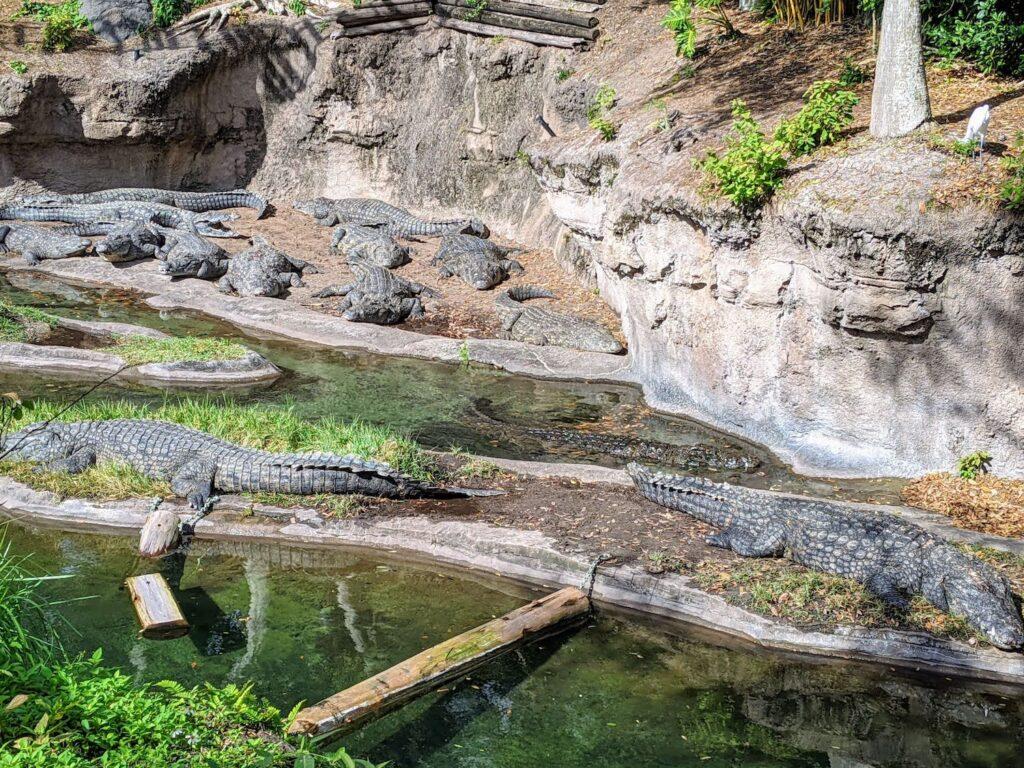Crocodiles in Kilimanjaro Safaris at Animal Kingdom