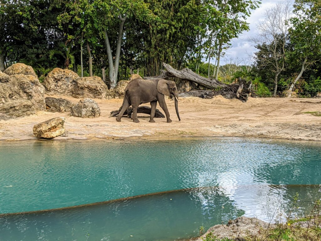 Elephant in Kilimanjaro Safari at Animal Kingdom