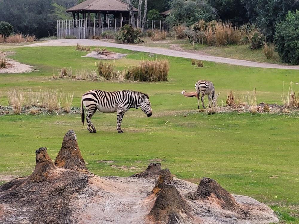 Zebras in Kilimanjaro Safaris at Animal Kingdom